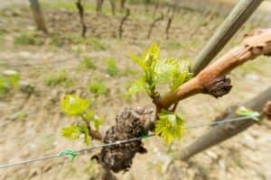 The vines in April. Piemaggio winery, Chianti Classico, Tuscany.